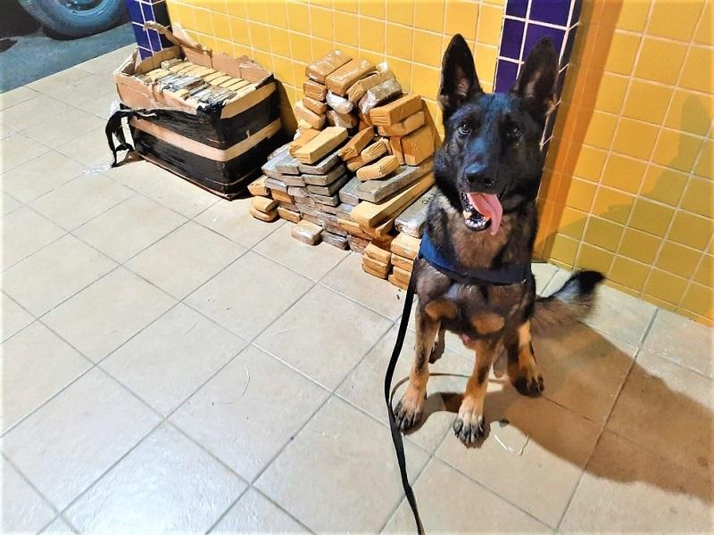 Feira de Santana: cão farejador encontra mais de 100 quilos de maconha em ônibus de turismo em rodovia