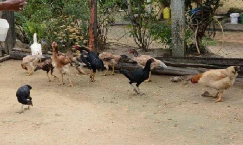 Cachoeira: Governo destina R$ 550,4 mil para criação de galinhas em comunidade quilombola